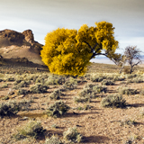 autumn color nevada cottonwood tree great basin homestead